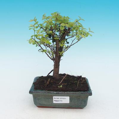 Izbová bonsai - Sagerécie thea - Sagerécie thea - 1