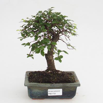 Pokojová bonsai-Ulmus Parvifolia-Malolistý jilm