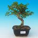 Pokojová bonsai -Ligustrum chinensis - Ptačí zob - 1/3