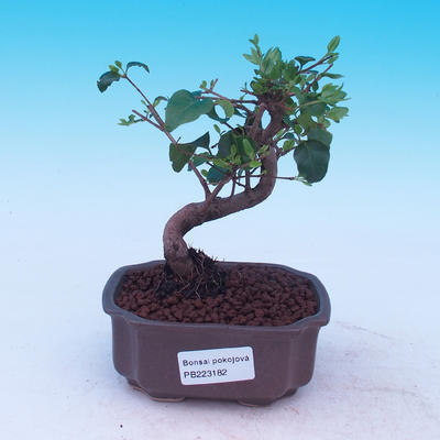 Izbová bonsai -Ligustrum chinensis - Vtáčí zob - 1