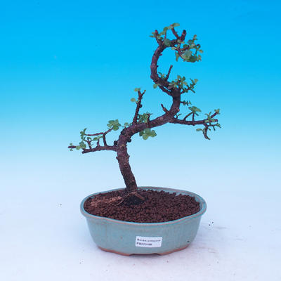 Izbová bonsai - Portulakaria Afra - Tlustice - 1