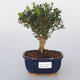 Pokojová bonsai - Buxus harlandii -korkový buxus - 1/5