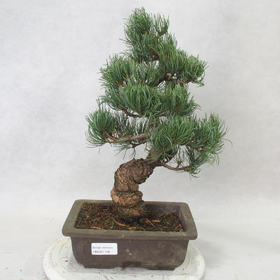 Venkovní bonsai - Pinus parviflora - Borovice drobnokvětá - 1