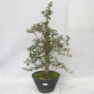 Venkovní bonsai - Hloh růžové květy - Crataegus laevigata paul´s  Scarlet - 1