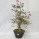 Venkovní bonsai - Hloh bílé květy - Crataegus laevigata - 1/6