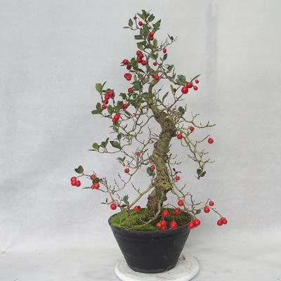 Venkovní bonsai - Hloh bílé květy - Crataegus laevigata - 1