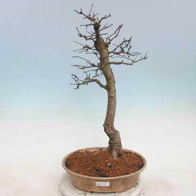 Venkovní bonsai - Hloh jednosemený - 1