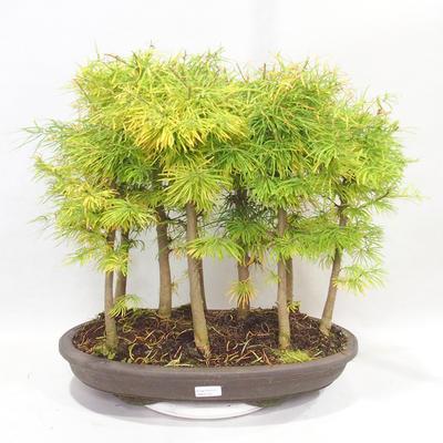 Venkovní bonsai - Pseudolarix amabilis - Pamodřín - lesík 9 stromů - 1