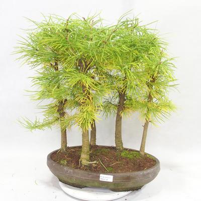 Venkovní bonsai - Pseudolarix amabilis - Pamodřín - lesík 5 stromů - 1