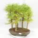 Venkovní bonsai - Pseudolarix amabilis - Pamodřín - lesík 5 stromů - 1/5