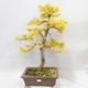 Venkovní bonsai - Pseudolarix amabilis - Pamodřín - 1/6
