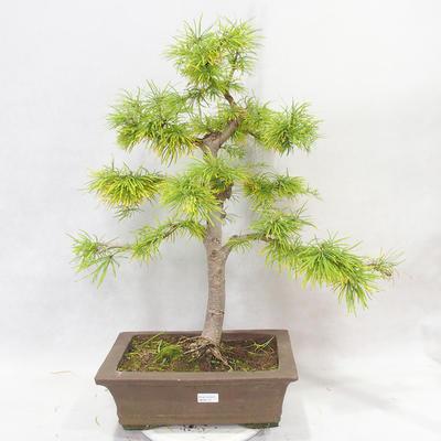 Venkovní bonsai - Pseudolarix amabilis - Pamodřín - 1