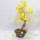Venkovní bonsai - Jinan dvoulaločný - Ginkgo biloba - 1/7