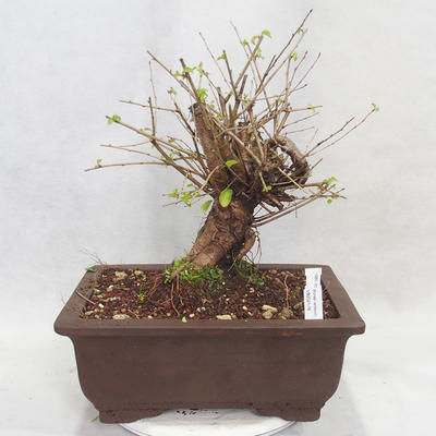 Vonkajšie bonsai -Mahalebka - Prunus mahaleb - 1
