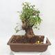Venkovní bonsai -Mahalebka - Prunus mahaleb - 1/5