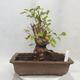 Vonkajšie bonsai -Mahalebka - Prunus mahaleb - 1/5
