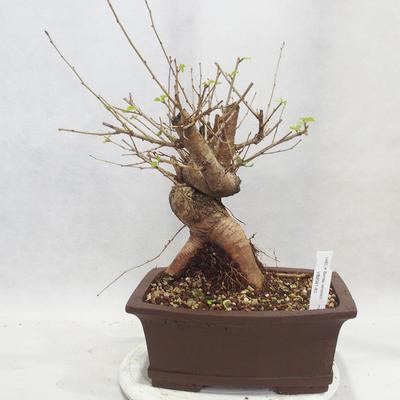 Venkovní bonsai -Mahalebka - Prunus mahaleb - 1