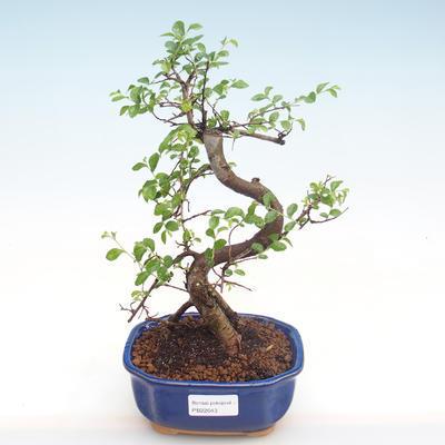 Pokojová bonsai - Ulmus parvifolia - Malolistý jilm PB22043 - 1