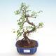 Pokojová bonsai - Ulmus parvifolia - Malolistý jilm PB22043 - 1/3