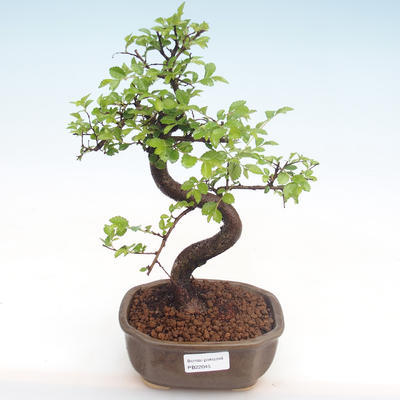 Pokojová bonsai - Ulmus parvifolia - Malolistý jilm PB22045 - 1