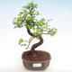 Pokojová bonsai - Ulmus parvifolia - Malolistý jilm PB22045 - 1/3