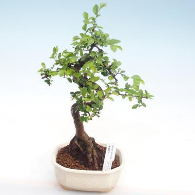 Pokojová bonsai - Ulmus parvifolia - Malolistý jilm PB22047 - 1