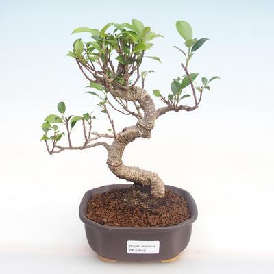Pokojová bonsai - Ficus kimmen -  malolistý fíkus PB220048