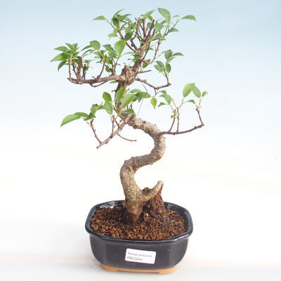 Pokojová bonsai - Ficus kimmen -  malolistý fíkus PB220049