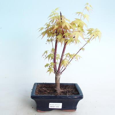 Venkovní bonsai - Acer pal. Sango Kaku - Javor dlanitolistý - 1