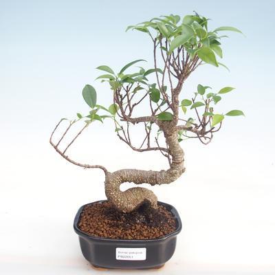 Pokojová bonsai - Ficus kimmen -  malolistý fíkus PB220051