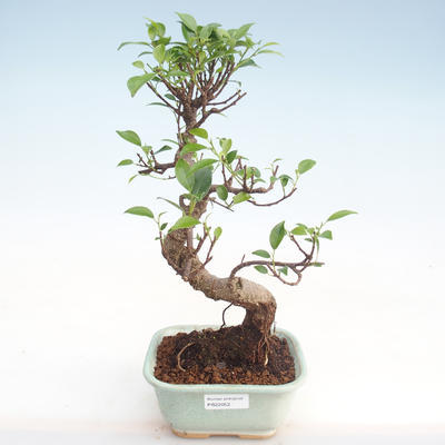Pokojová bonsai - Ficus kimmen -  malolistý fíkus PB220052