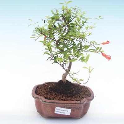 Pokojová bonsai-PUNICA granatum nana-Granátové jablko PB2192053 - 1