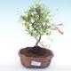 Pokojová bonsai-PUNICA granatum nana-Granátové jablko PB2192053 - 1/3
