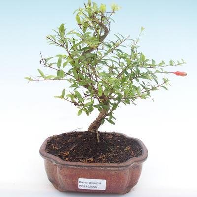 Pokojová bonsai-PUNICA granatum nana-Granátové jablko PB2192055 - 1