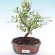 Pokojová bonsai-PUNICA granatum nana-Granátové jablko PB2192055 - 1/3