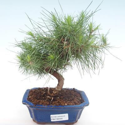 Pokojová bonsai-Pinus halepensis-Borovice alepská PB2192056