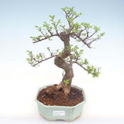 Pokojová bonsai - Ulmus parvifolia - Malolistý jilm PB22056 - 1