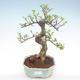 Pokojová bonsai - Ulmus parvifolia - Malolistý jilm PB22056 - 1/3