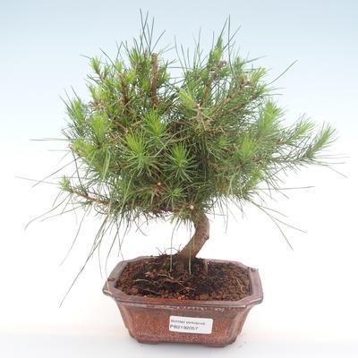 Pokojová bonsai-Pinus halepensis-Borovice alepská PB2192057