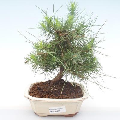 Pokojová bonsai-Pinus halepensis-Borovice alepská PB2192059