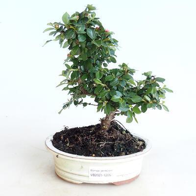 Venkovní bonsai-Cotoneaster horizontalis-Skalník - 1