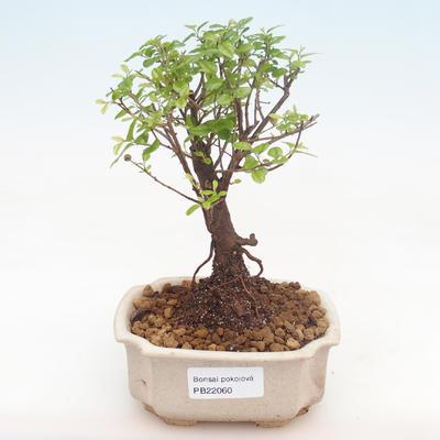 Pokojová bonsai - Sagerécie thea - Sagerécie thea  PB22060 - 1