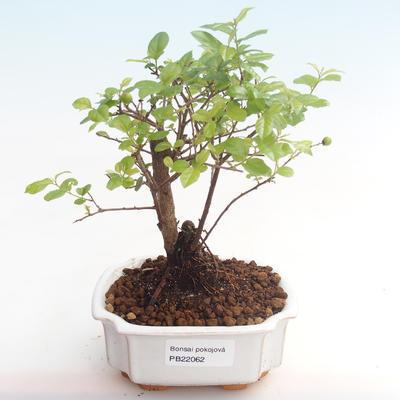 Pokojová bonsai - Sagerécie thea - Sagerécie thea  PB22062 - 1