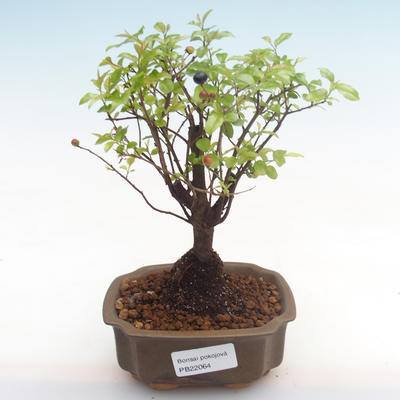 Pokojová bonsai - Sagerécie thea - Sagerécie thea  PB22064 - 1
