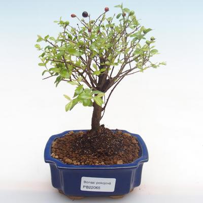 Pokojová bonsai - Sagerécie thea - Sagerécie thea  PB22065 - 1