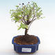Pokojová bonsai - Sagerécie thea - Sagerécie thea  PB22065 - 1/4