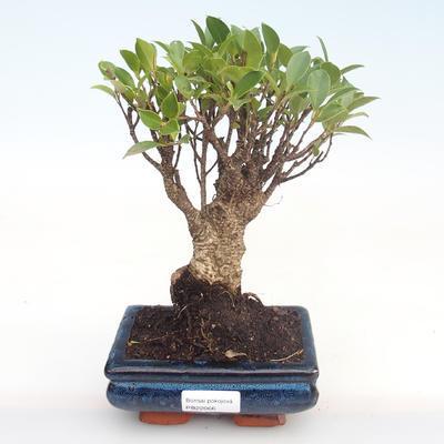 Pokojová bonsai - Ficus retusa -  malolistý fíkus PB22066 - 1