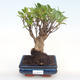 Pokojová bonsai - Ficus retusa -  malolistý fíkus PB22066 - 1/2