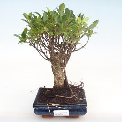 Pokojová bonsai - Ficus retusa -  malolistý fíkus PB22069 - 1