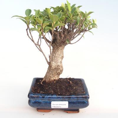 Pokojová bonsai - Ficus retusa -  malolistý fíkus PB22073 - 1